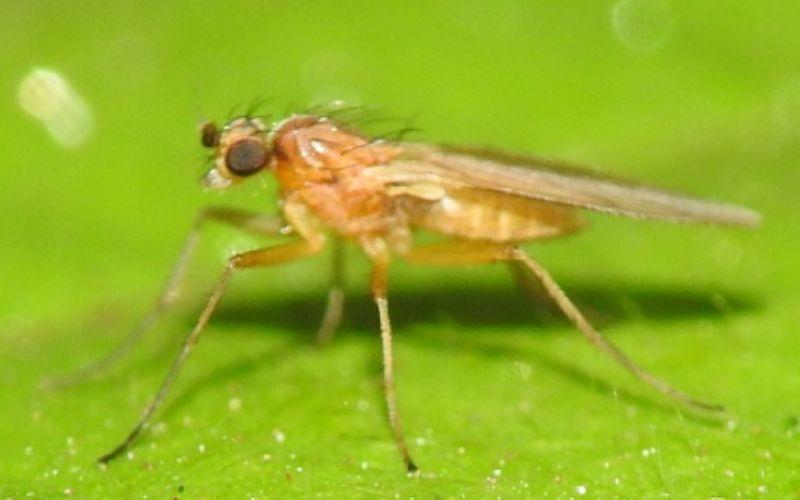 गाल मक्खी