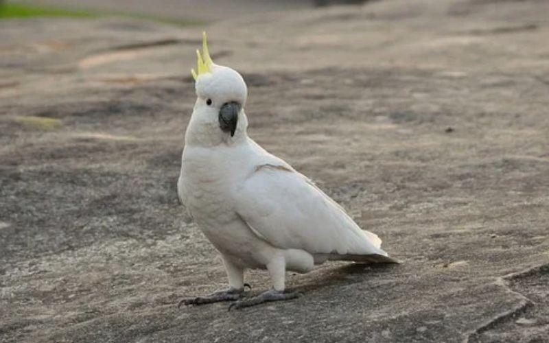 काकातुआ