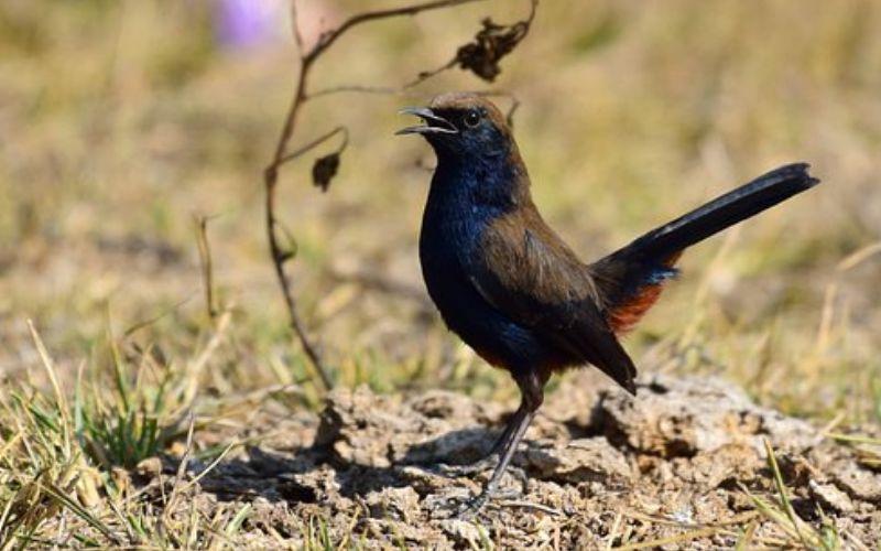 काली चिड़ी