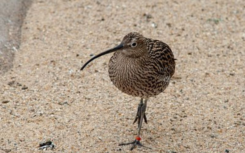 कीवी पक्षी