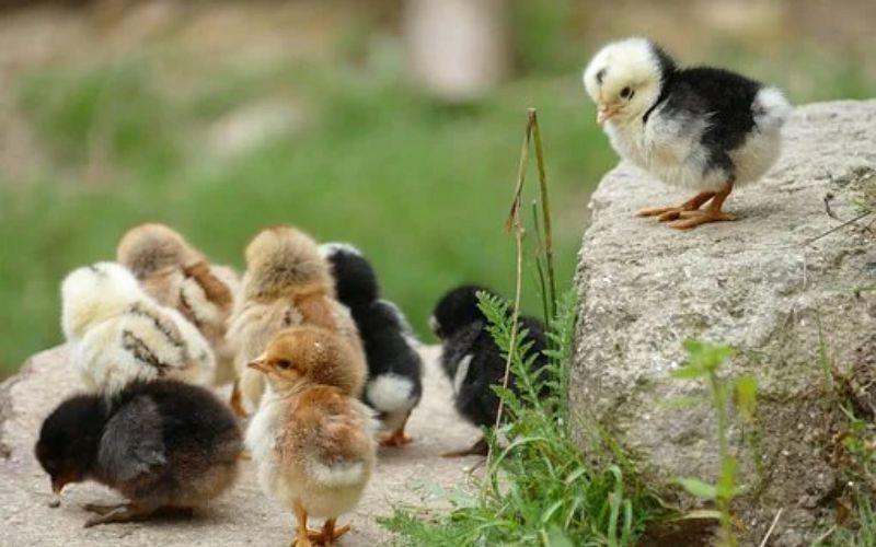 मुर्गी का बच्चा