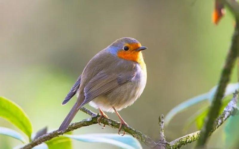 लाल वक्ष वाला पक्षी