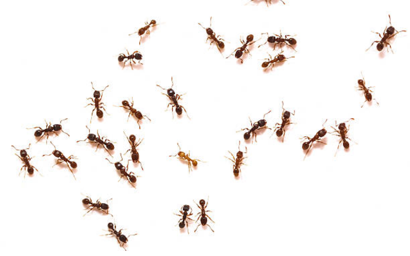 चींटी