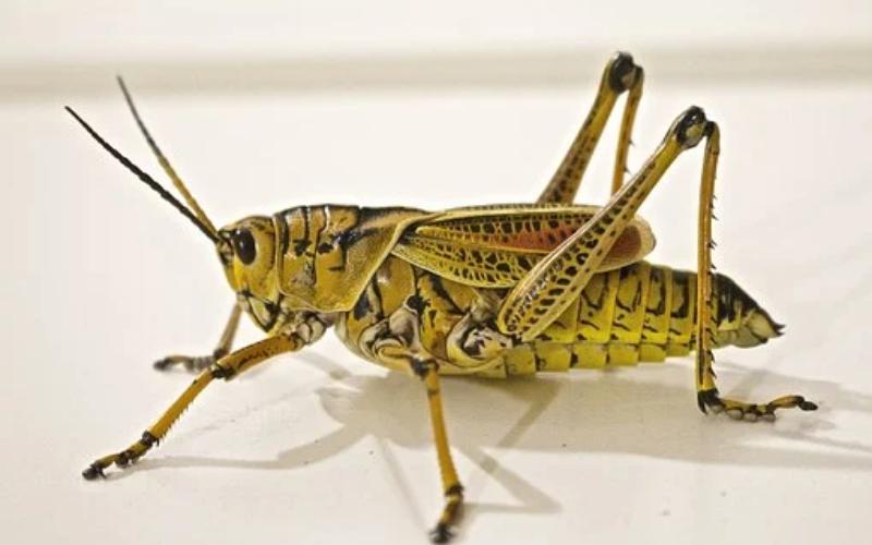 ग्रासशोप्पेर